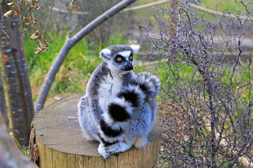 Lemurs in london zoo